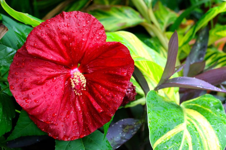 Hibiscus and ginger in my garden