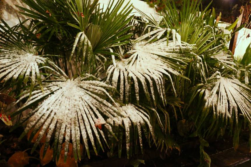 My palm trees covered in snow