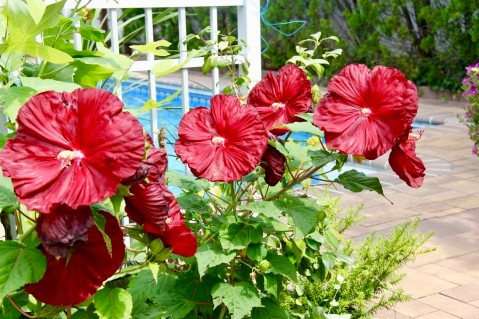 Hardy Hibiscus blooms July - September