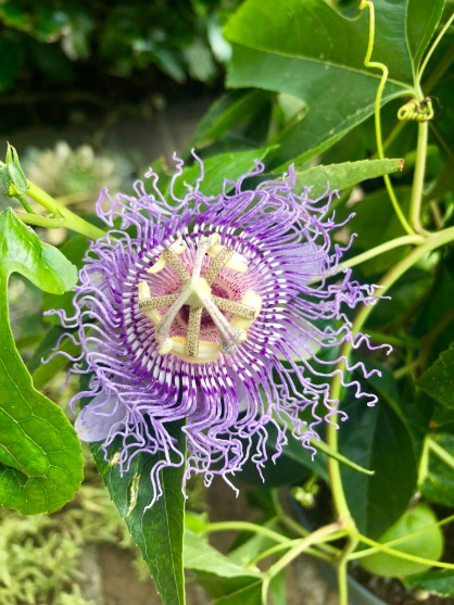 Passion Flower in NYC