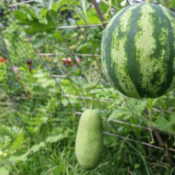 Watermelon growing on trelis