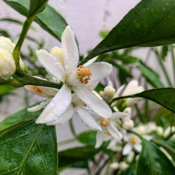 Satsuma Mandarin blooming for the first time