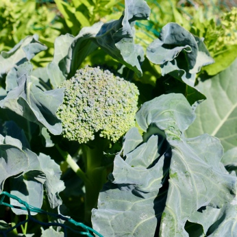 Broccoli florets surviving much later than usual into Spring