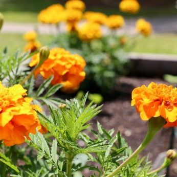 Marigolds are perfect for the summer garden