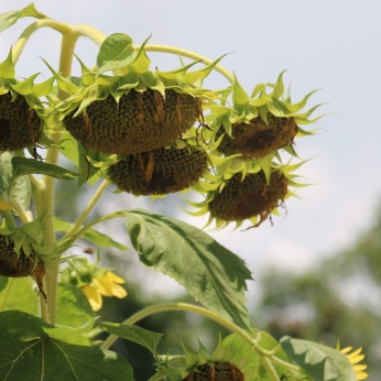 Sunflowers heavy with seed