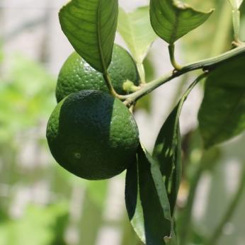 Satsuma Mandarin's first fruits!